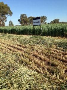 Sunlamb Wheat Baker Seed Co
