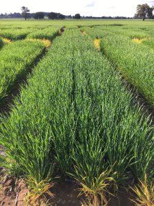 Compas Barley Baker Seed Co